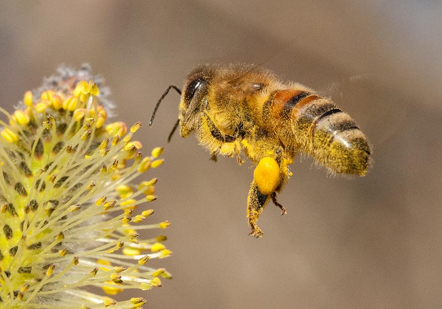 Biene fliegt auf Weidenkätzchen